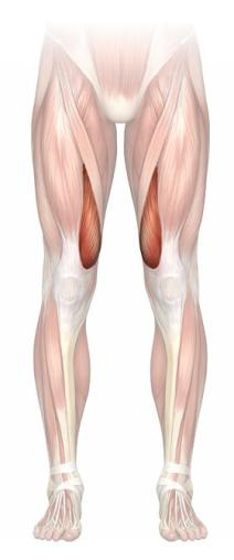 quadriceps-vastus-medialis-highlight-m
